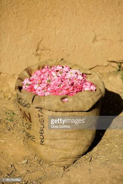 kelaat m'gouna rose harvest, dades valley - amazigh photos et images de collection