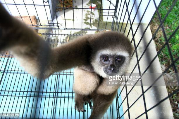 Kelempiau Gibbon Owa Kelempiau is seen after being given by the residents to Nature Conservation Agency Indonesia on September 08 2017 in Pontianak...