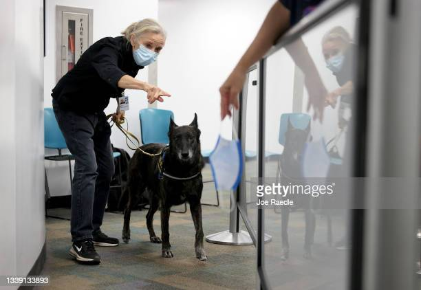 Kelley Hall leads One Betta, a Dutch Shepard, to sniff a mask for the scent of COVID-19 at Miami International Airport on September 08, 2021 in...