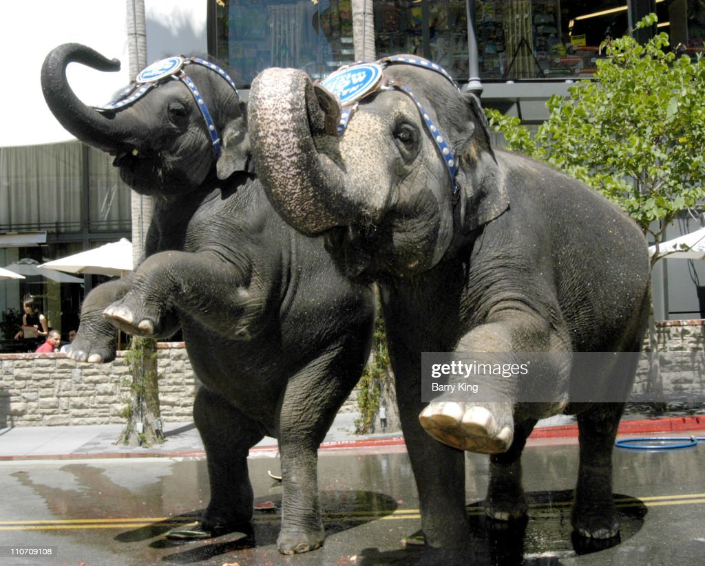Kelly An and Karen the Elephants in the Ringling Brothers and Barnum & Bailey Circus