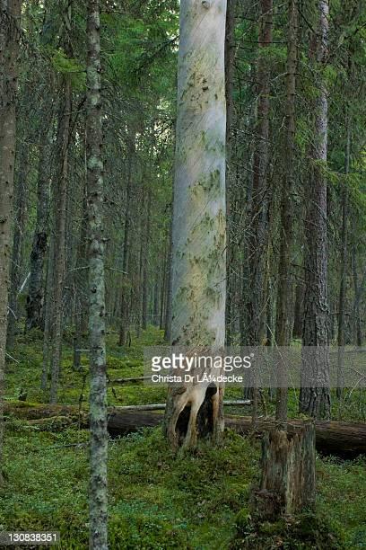 kelo, pine forest (pinus), pyhae-haekki national park, finland, scandinavia - パイン材 ストックフォトと画像