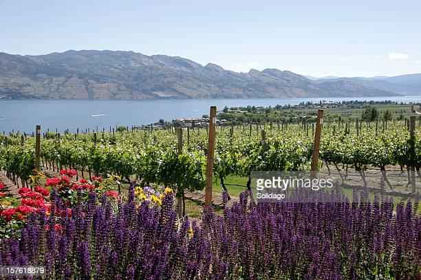 kelowna british columbia vineyards. - kelowna stock pictures, royalty-free photos & images