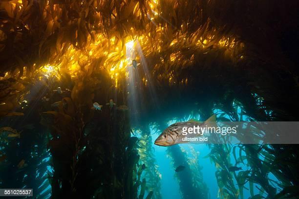 Kelp Bass in Kelp Forest Paralabrax clathratus San Benito Island Mexico