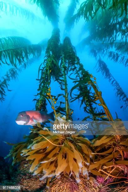 Kelp Forest at Santa Barbara Island