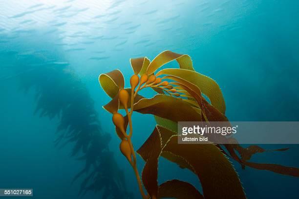 Kelp Forest Giant Kelp Macrocystis pyrifera San Benito Island Mexico