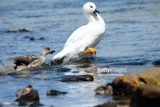 kelp goose - atlantic islands stock pictures, royalty-free photos & images