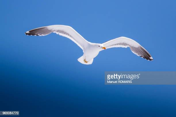 Kelp gull, Lemaire Channel, Antactica