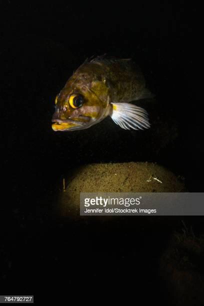 Kelp rockfish in the Hood Canal, Puget Sound, Washington.