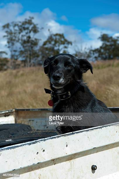 Kelpie dog at 28 Gates a renovated 1930s stables cum sheerer quarters that has been turned into guest accommodation set on a 6000 acre station in...