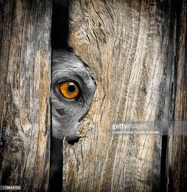 A kelpie dog looking through a hole in the fence