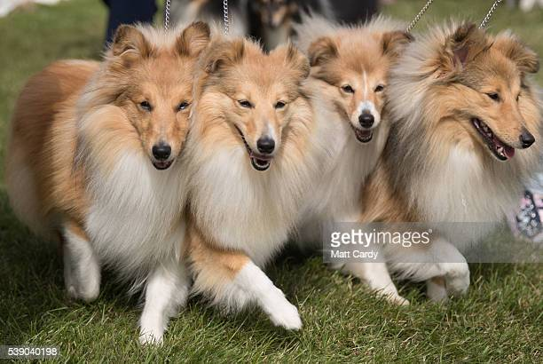 Kelpie dogs are shown on the first day of the Royal Cornwall Show on June 9, 2016 near Wadebridge, England. More than 100,000 visitors are expected...