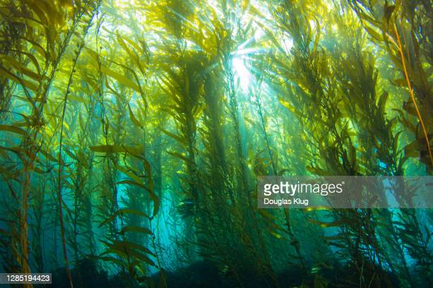 kelpsunburst1feb8-20 - underwater diving stock pictures, royalty-free photos & images