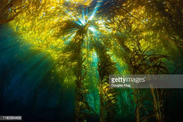 kelpsunburst3nov9-19 - 藻 ストックフォトと画像