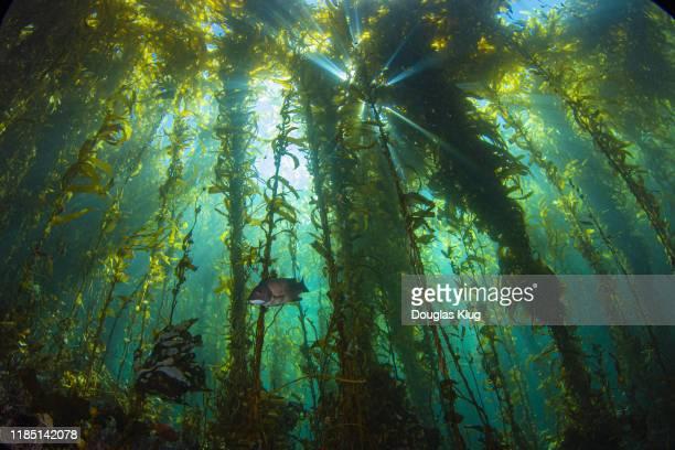 kelpsunburst4oct25-19 - 藻 ストックフォトと画像