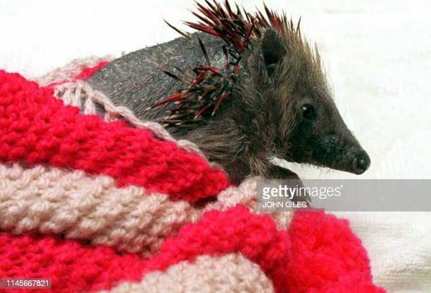 Kelvin the hedgehog stays cosy in a teapot cover as he recovers in the Hedgehog Hospital in Hull 24 January The mammal lost nearly all his spines...
