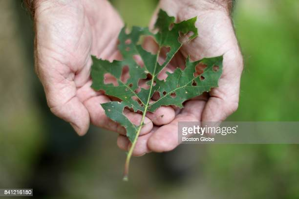 Ken Gooch Forest Health Program Director with the Massachusetts Department of Conservation and Recreation shows shows a damaged oak leaf in the Wells...