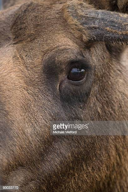 A close view of a moose's eye,