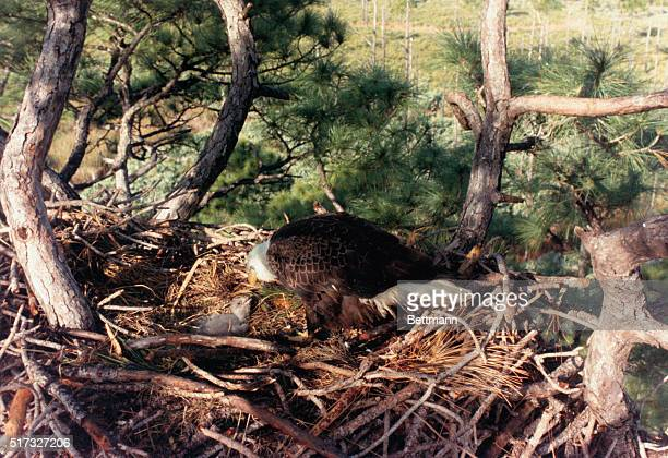 Kennedy Space Center Florida A down covered eagle chick checks out is mother as the adult female eagle watches over the baby 1/2/86 The chick which...