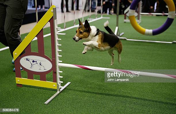Kennel breed performs during the 140th annual Westminster Kennel Club Dog Show meet the new breeds at Madison Square Garden on January 21 2016 in New...