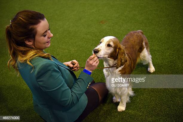 Kennel Club member shows her Welsh Springer Spaniel dog on the first day of the Crufts dog show at the National Exhibition Centre in Birmingham,...