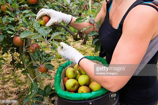 UK Kent woman picking apples using specialist picking bucket