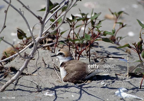 Kentish plover , Charadriidae.