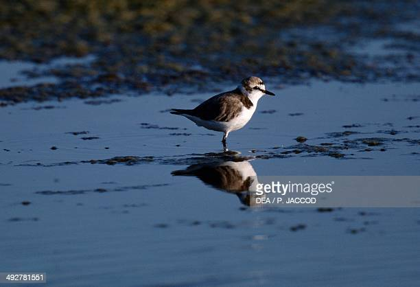 Kentish plover , Charadriidae, Sinis Peninsula, Sardinia, Italy.