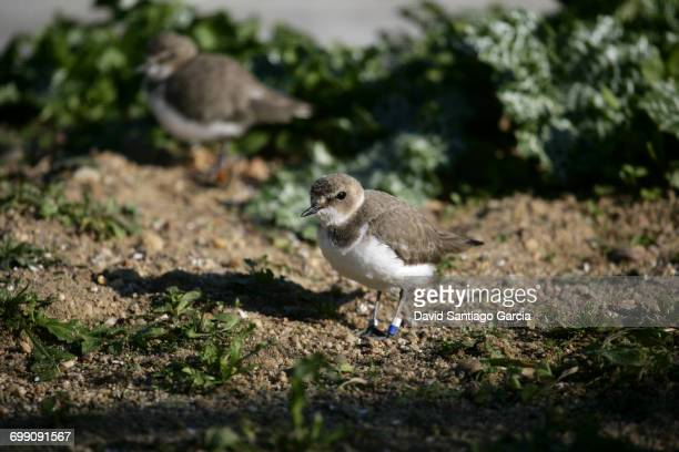 kentish plover, charadrius alexandrinus, single female by water - kentish plover stock pictures, royalty-free photos & images