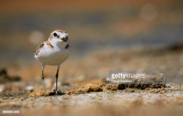 kentish plover in peloponnese - kentish plover stock pictures, royalty-free photos & images