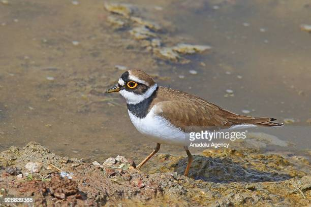 Kentish plover is seen near the shallow water of the Lake Ercek, Van in Turkey on March 03, 2018.