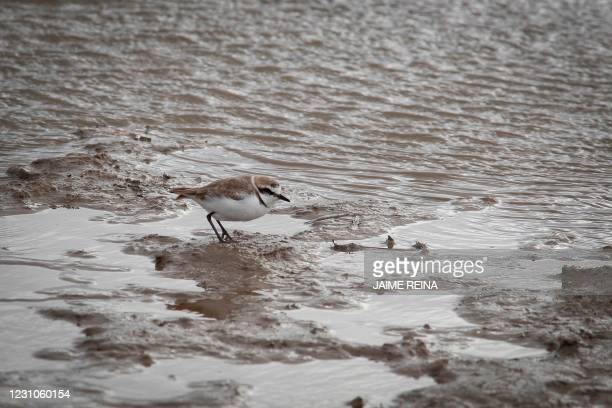 Kentish plover perches on mud at the Albufera Natural Reserve near Alcudia on the island of Mallorca on February 8, 2021. - The number of wetland...