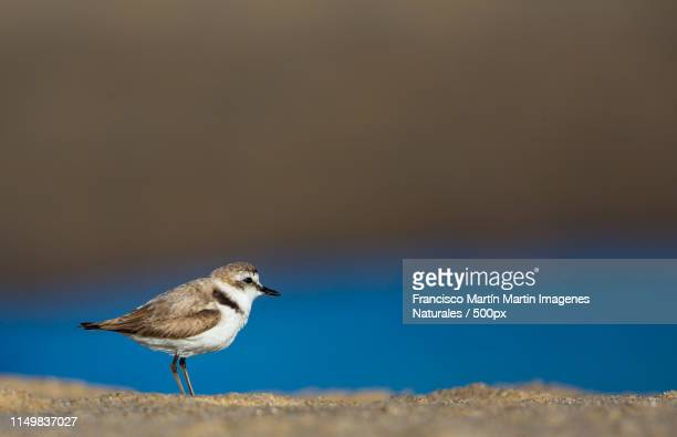 kentish plover - kentish plover stock pictures, royalty-free photos & images