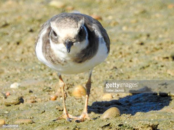 kentish plover (charadrius alexandrinus subsp. alexandrinus) - kentish plover stock pictures, royalty-free photos & images