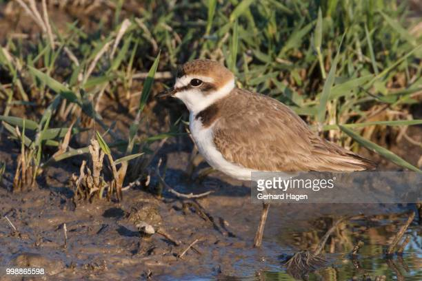 kentish plover standing in mud - kentish plover stock pictures, royalty-free photos & images