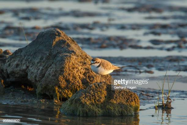 kentish plover standing on a large stone - kentish plover stock pictures, royalty-free photos & images