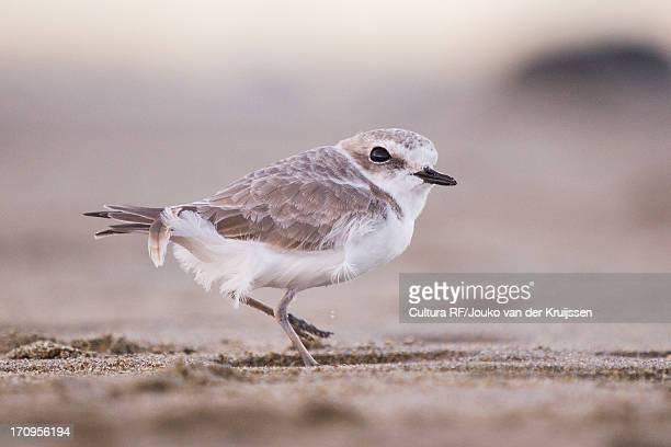 kentish plover, western snowy plover, charadrius alexandrinus nivosus - kentish plover stock pictures, royalty-free photos & images