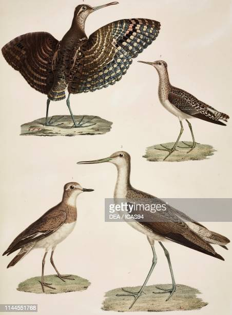 Kentish plover , Wood sandpiper , Stilt sandpiper , Three-coloured Lapwingo , Zoology plate by Marie Jules Cesar Savigny, colored engraving by...