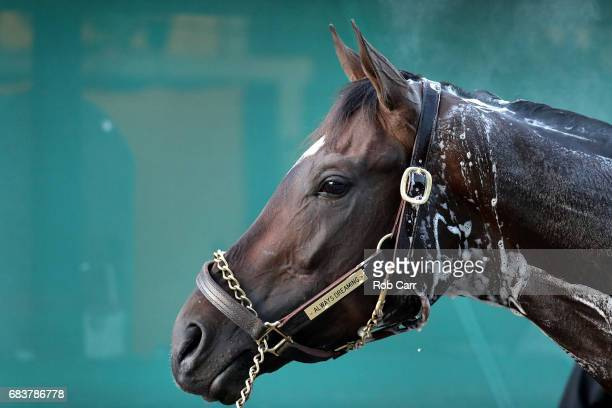 Kentucky Derby winner Always Dreaming is bathed after training for the upcoming Preakness Stakes at Pimlico Race Course on May 16 2017 in Baltimore...