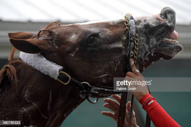 Kentucky Derby winner California Chrome is bathed in preparation for the 139th Preakness Stakes at Pimlico Race Course on May 15 2014 in Baltimore...