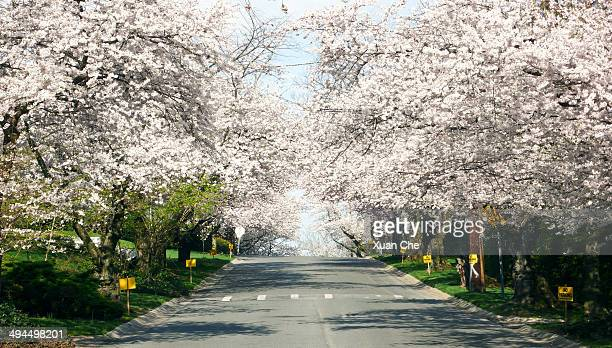kenwood cherry blossoms. - bethesda maryland stock pictures, royalty-free photos & images