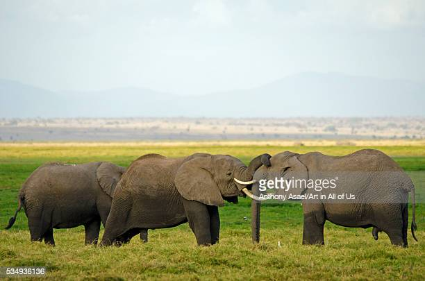 Kenya Amboseli National Park elephant kissing