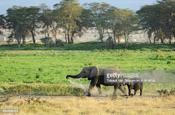 Kenya Amboseli National Park Elephant mother playing with dust with calf