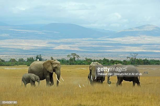 Kenya Amboseli National Park elephants in family in front of clouded Kilimanjaro