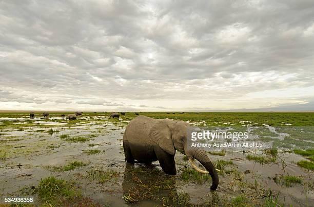 Kenya Amboseli National Park elephants in wet grassland in cloudy weather