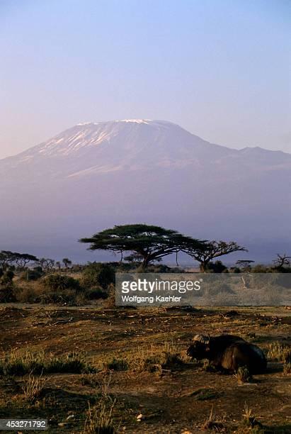 Kenya Amboseli National Park Mt Kilimanjaro At Dawn Cape Buffalo