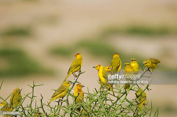 Kenya Amboseli National Park Yellow canary or weaver