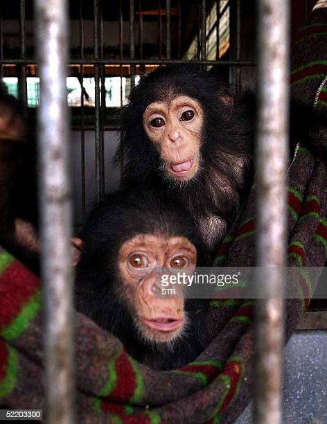 WITH 'Kenya cracks notorious wildlife smuggling route with baby chimp seizures' A picture taken 16 February 2005 shows some of the baby chimpanzees i...