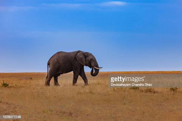 kenya, east africa - single, adult african elephant on the masai mara national reserve in the late afternoon sunlight - elephant stock pictures, royalty-free photos & images