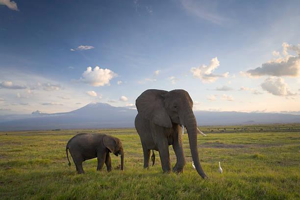Kenya, Elephant And Infant On Plain, Mount Kilimanjaro In Background Wall Art