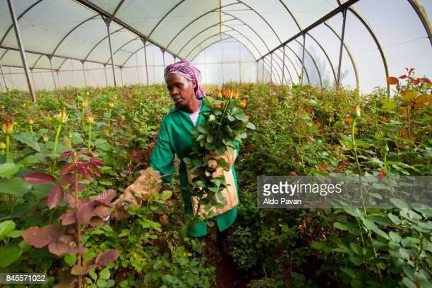 kenya, fair trade cultivation of roses by karen roses - kenia stock-fotos und bilder